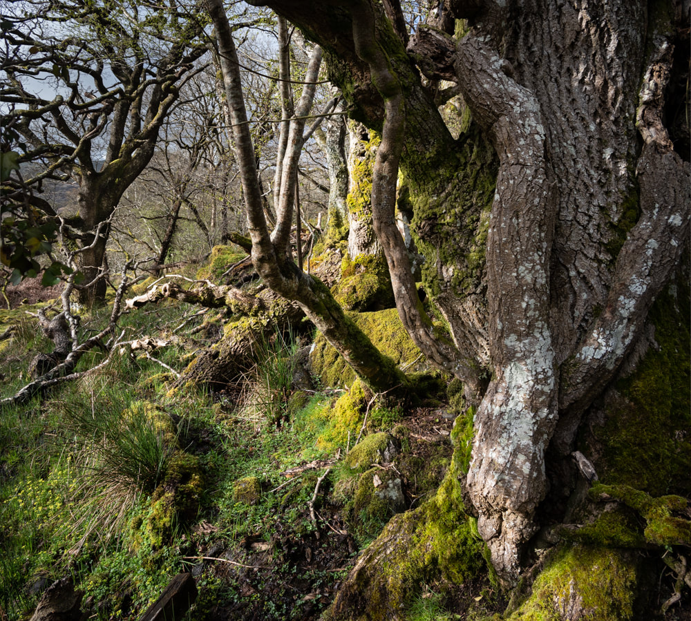 oak tree, coed crafnant, Treasure maps, Iain Robinson, Wales